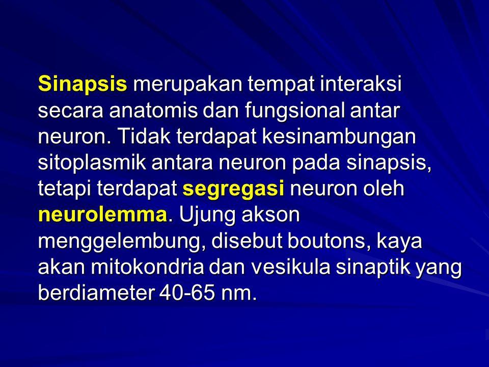 Sinapsis merupakan tempat interaksi secara anatomis dan fungsional antar neuron. Tidak terdapat kesinambungan sitoplasmik antara neuron pada sinapsis,