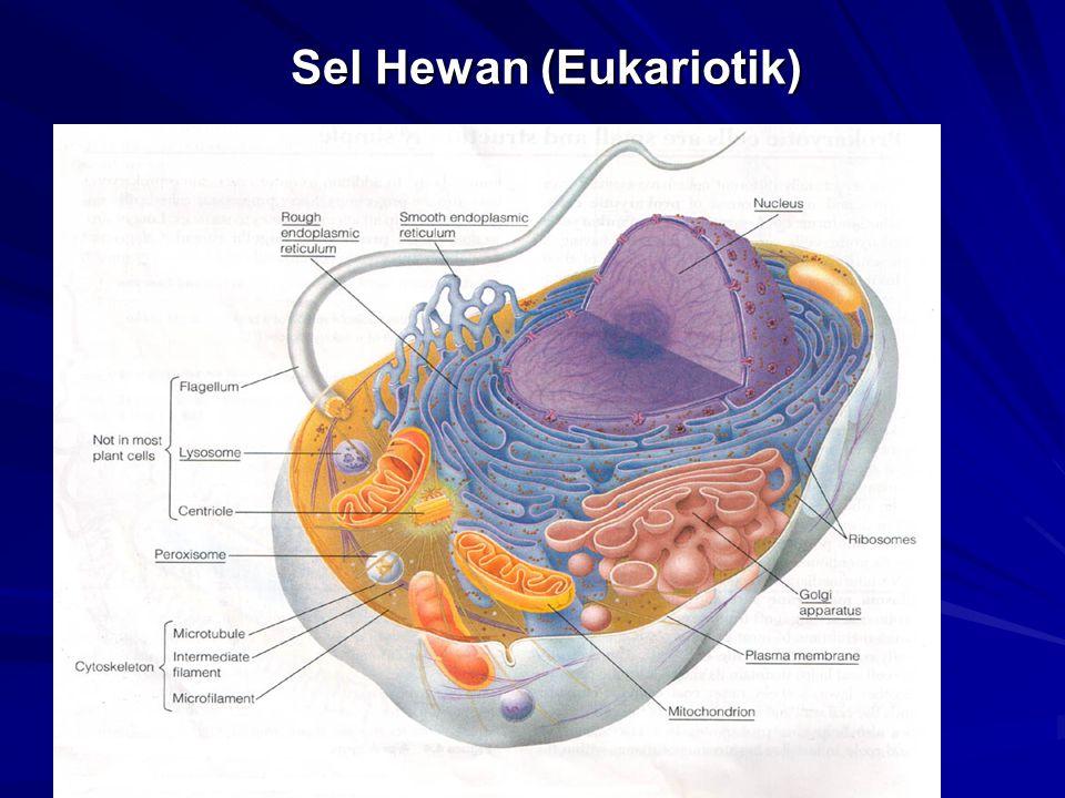 Sel syaraf : merupakan satuan anatomis dan fungsional terdiri dari badan sel (perikaryon) dan juluran-juluran sel yang disebut akson dan dendrit.