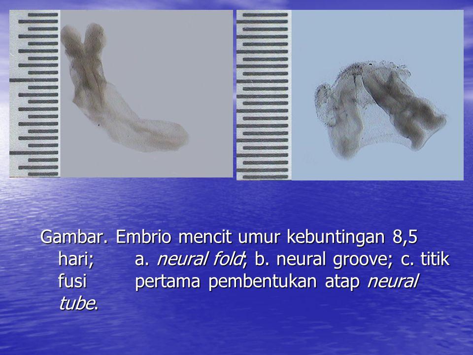 Gambar.Embrio mencit umur kebuntingan 8,5 hari; a.