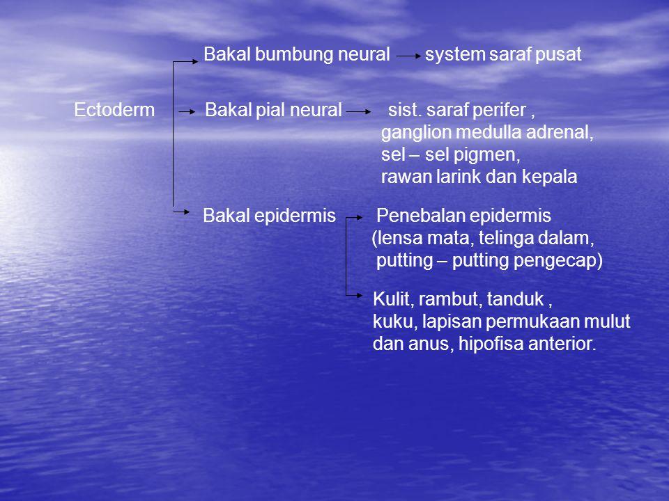 Bakal bumbung neural system saraf pusat Ectoderm Bakal pial neural sist.