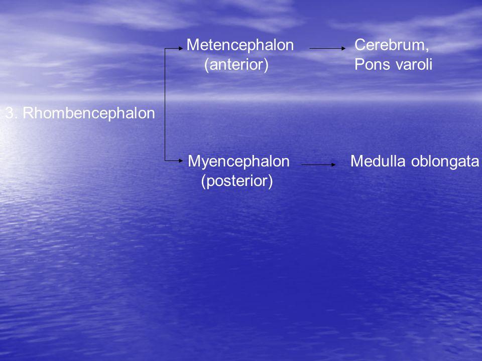 Metencephalon (anterior) Cerebrum, Pons varoli Myencephalon (posterior) Medulla oblongata 3.