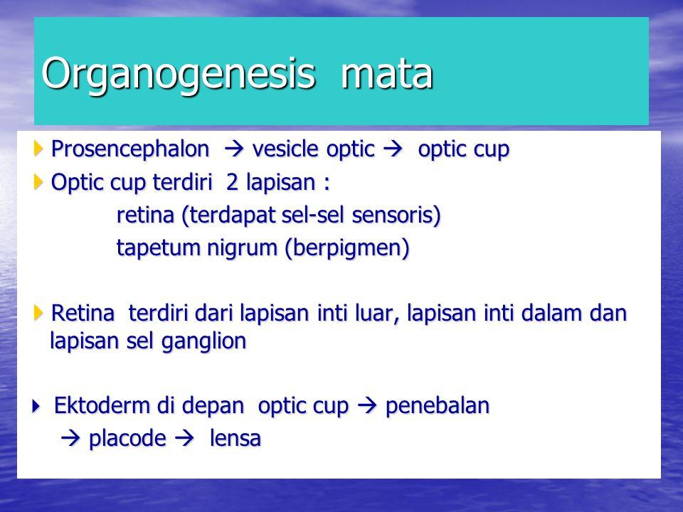 Organogenesis mata  Prosencephalon  vesicle optic  optic cup  Optic cup terdiri 2 lapisan : retina (terdapat sel-sel sensoris) retina (terdapat sel-sel sensoris) tapetum nigrum (berpigmen) tapetum nigrum (berpigmen)  Retina terdiri dari lapisan inti luar, lapisan inti dalam dan lapisan sel ganglion  Ektoderm di depan optic cup  penebalan  placode  lensa  placode  lensa