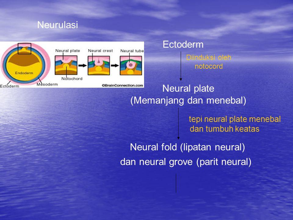 Neurulasi Ectoderm Diinduksi oleh notocord Neural plate (Memanjang dan menebal) tepi neural plate menebal dan tumbuh keatas Neural fold (lipatan neural) dan neural grove (parit neural)