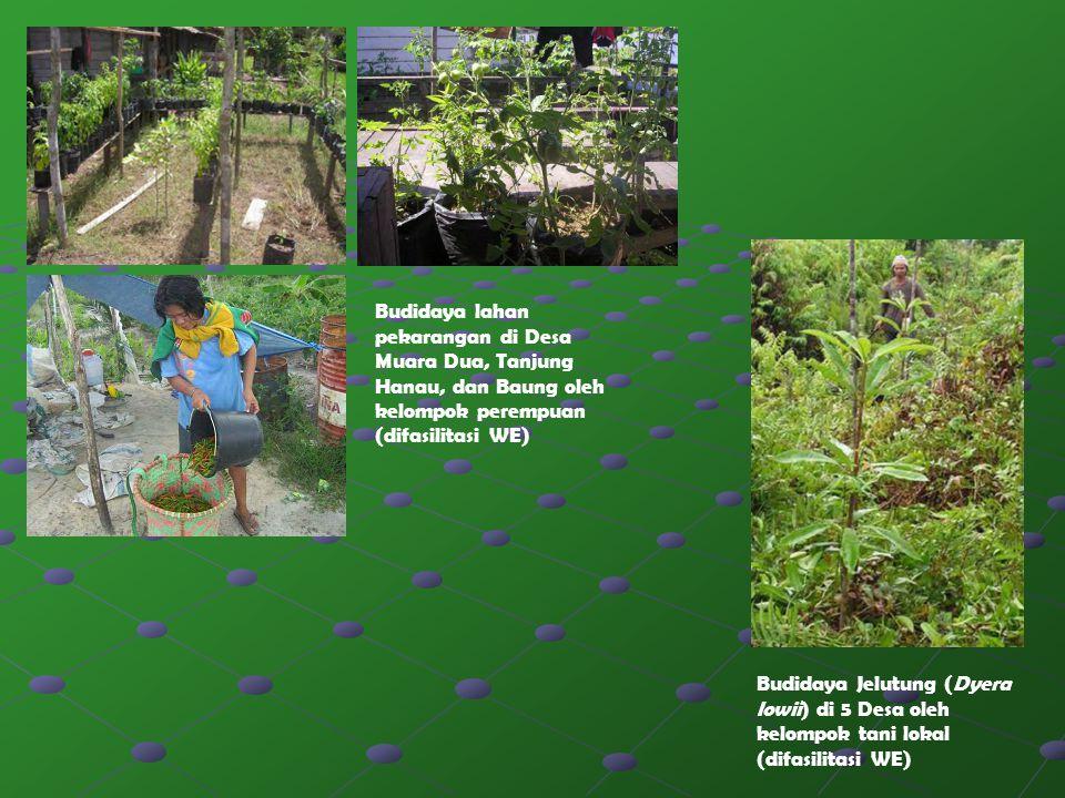 Budidaya lahan pekarangan di Desa Muara Dua, Tanjung Hanau, dan Baung oleh kelompok perempuan (difasilitasi WE) Budidaya Jelutung (Dyera lowii) di 5 D