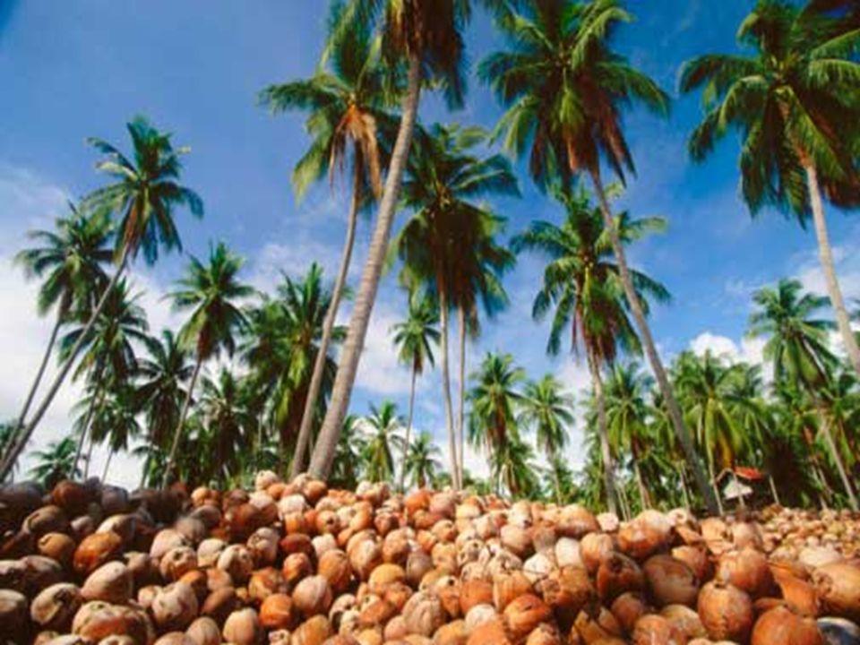 2.Sub sektor perkebunan dibedakan atas perkebunan rakyat dan perkebunan besar.