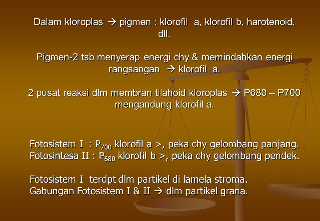 Fotosistem I : P 700 klorofil a >, peka chy gelombang panjang. Fotosintesa II : P 680 klorofil b >, peka chy gelombang pendek. Fotosistem I terdpt dlm