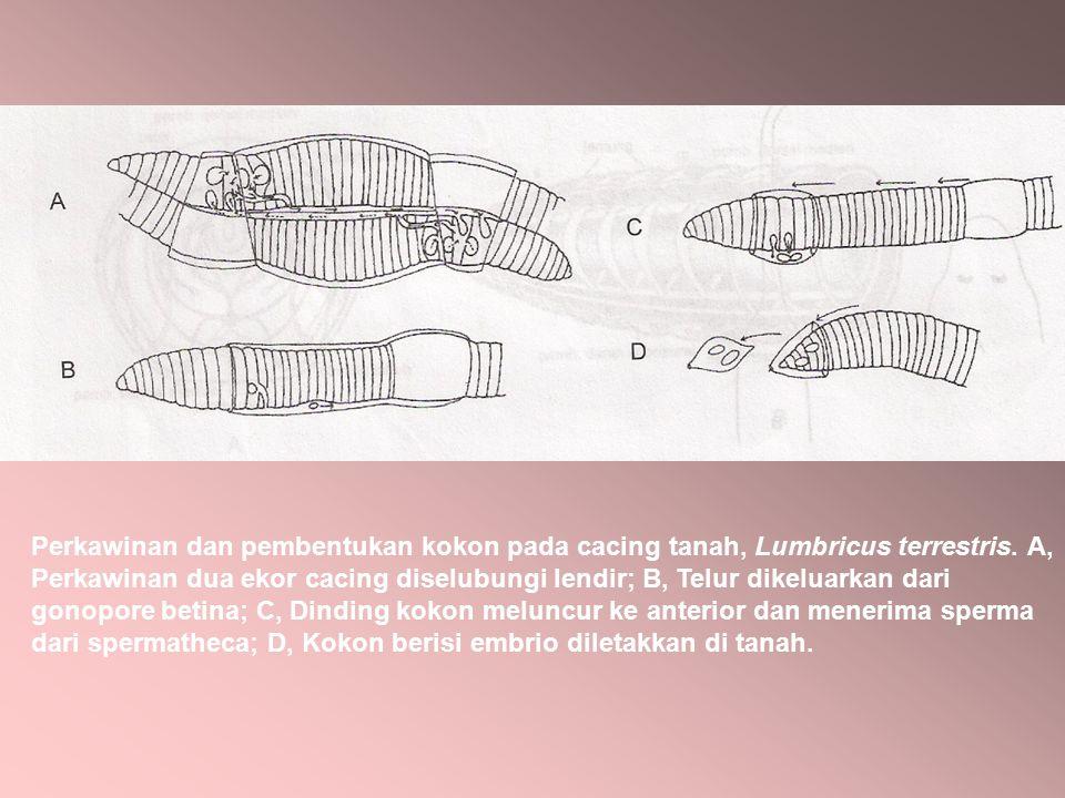 Perkawinan dan pembentukan kokon pada cacing tanah, Lumbricus terrestris. A, Perkawinan dua ekor cacing diselubungi lendir; B, Telur dikeluarkan dari