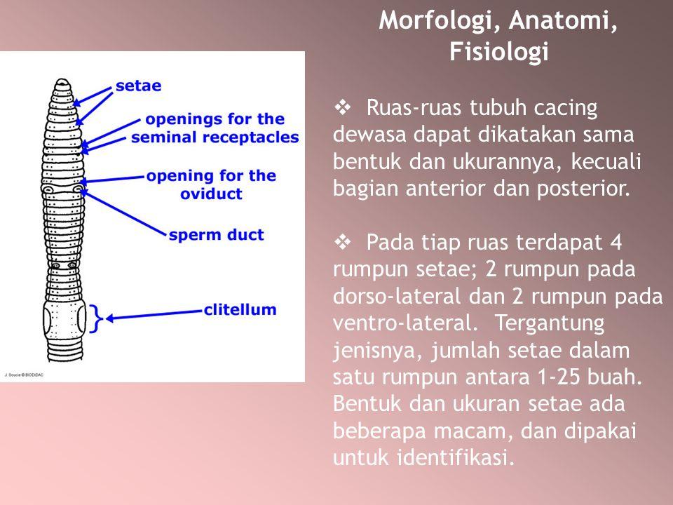 Morfologi, Anatomi, Fisiologi  Ruas-ruas tubuh cacing dewasa dapat dikatakan sama bentuk dan ukurannya, kecuali bagian anterior dan posterior.  Pada