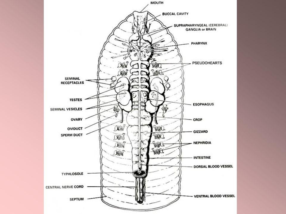  Hampir semua oligochaeta bernafas dengan cara difusi melalui seluruh permukaan tubuh.