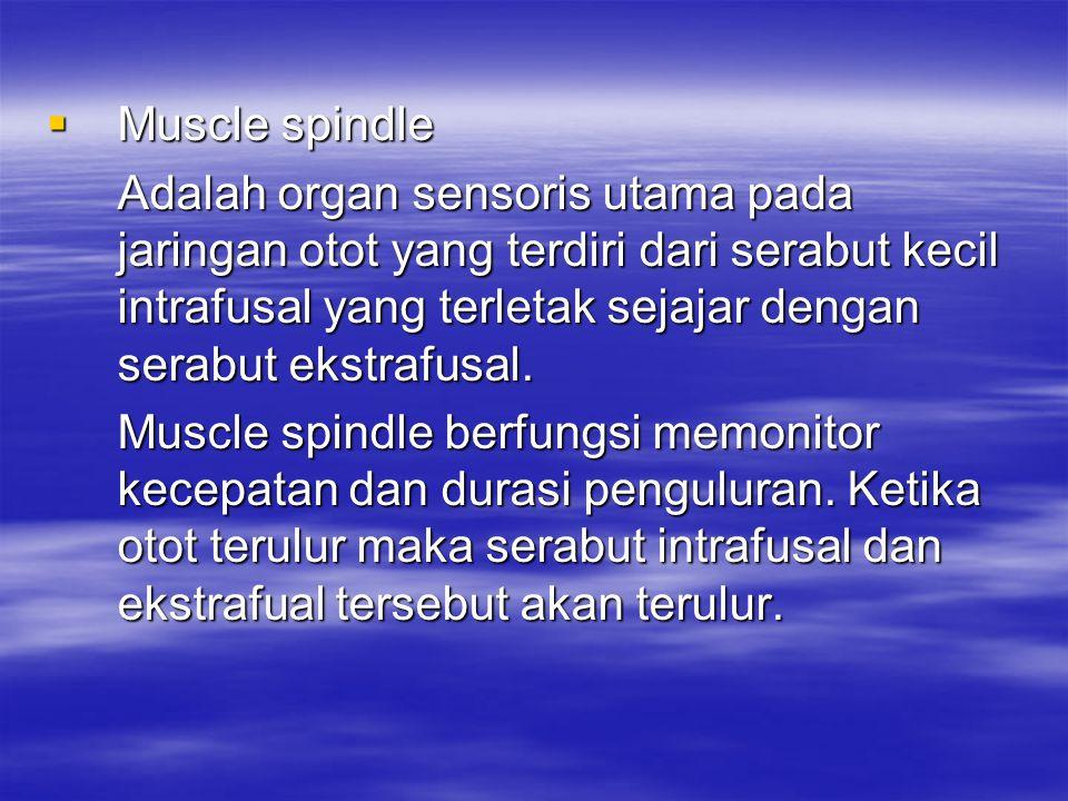  Muscle spindle Adalah organ sensoris utama pada jaringan otot yang terdiri dari serabut kecil intrafusal yang terletak sejajar dengan serabut ekstra