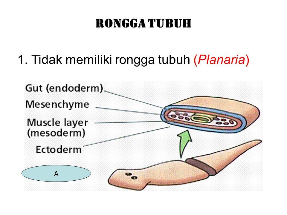 RONGGA TUBUH 1. Tidak memiliki rongga tubuh (Planaria) A