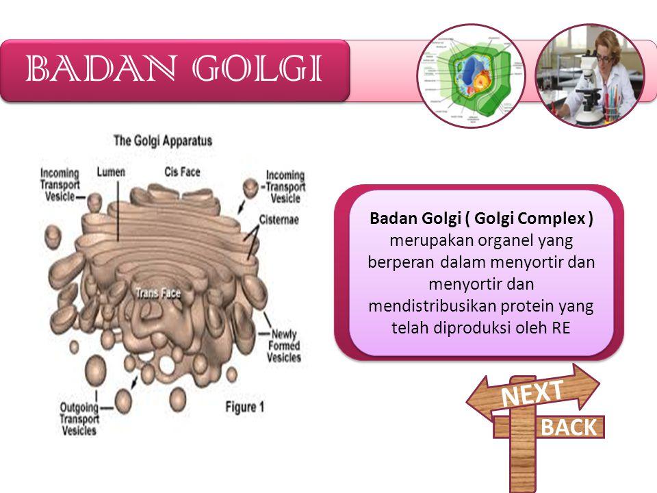 RETIKULUM ENDOPLASMA Retikulum Endoplasma merupakan jaringan membran yang berada didalam sitoplasma sel. Ada dua macam tipe RE, RE Kasar, bila disekel