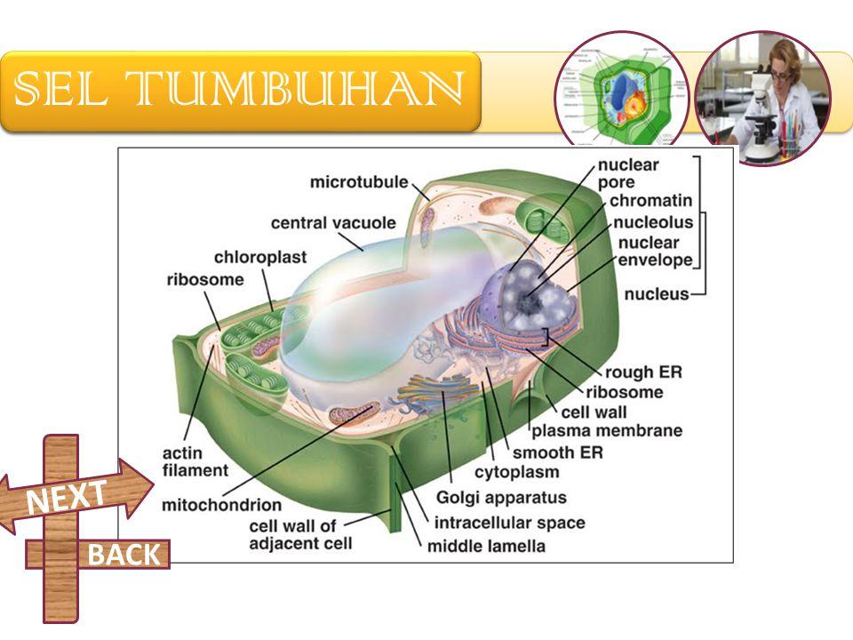 Lisosom berfungsi sebagai tempat daur ulang organel sel. Lisosom menerima protein dan lipid yang butuh dicerna. Hasil metabolitnya akan dikirim oleh v