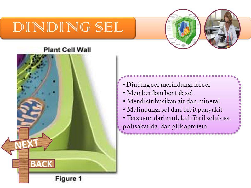 KLOROPLAS Merupakan tempat terjadinya Fotosintesis. Mengkonvensi energi matahari menjadi energi kimia. Kloroplas hanya ditemukan pada sel tumbuhan. En