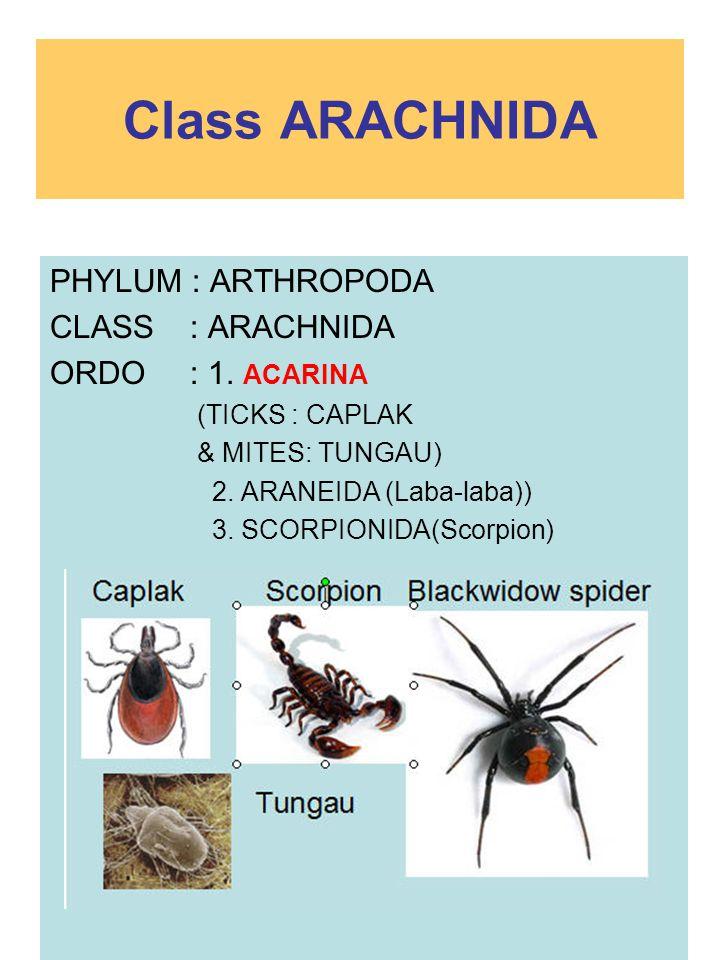 Class ARACHNIDA PHYLUM : ARTHROPODA CLASS : ARACHNIDA ORDO : 1. ACARINA (TICKS : CAPLAK & MITES: TUNGAU) 2. ARANEIDA (Laba-laba)) 3. SCORPIONIDA(Scorp