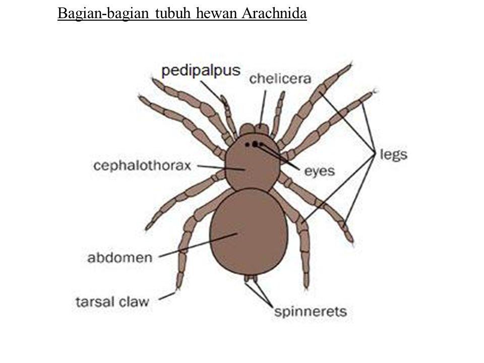 Bagian-bagian tubuh hewan Arachnida