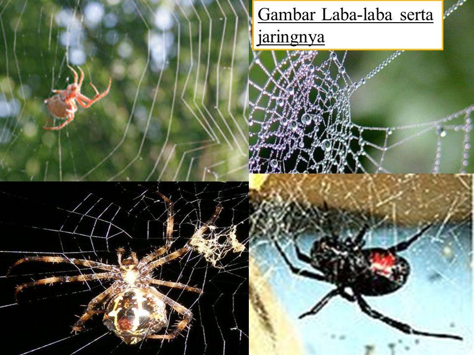 Tidak semua laba-laba membuat jaring untuk menangkap mangsa, akan tetapi semuanya mampu menghasilkan benang sutera yakni helaian serat protein yang tipis namun kuat.