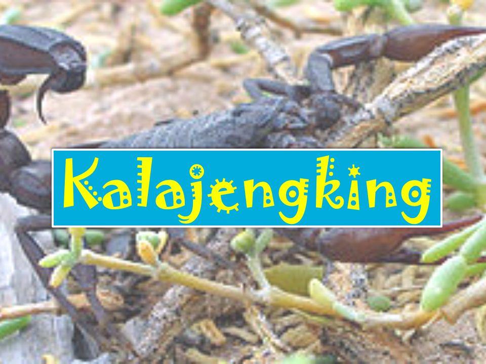 Contoh dari hewan Scorpionida,antara lain : Kalajengking Ketonggeng
