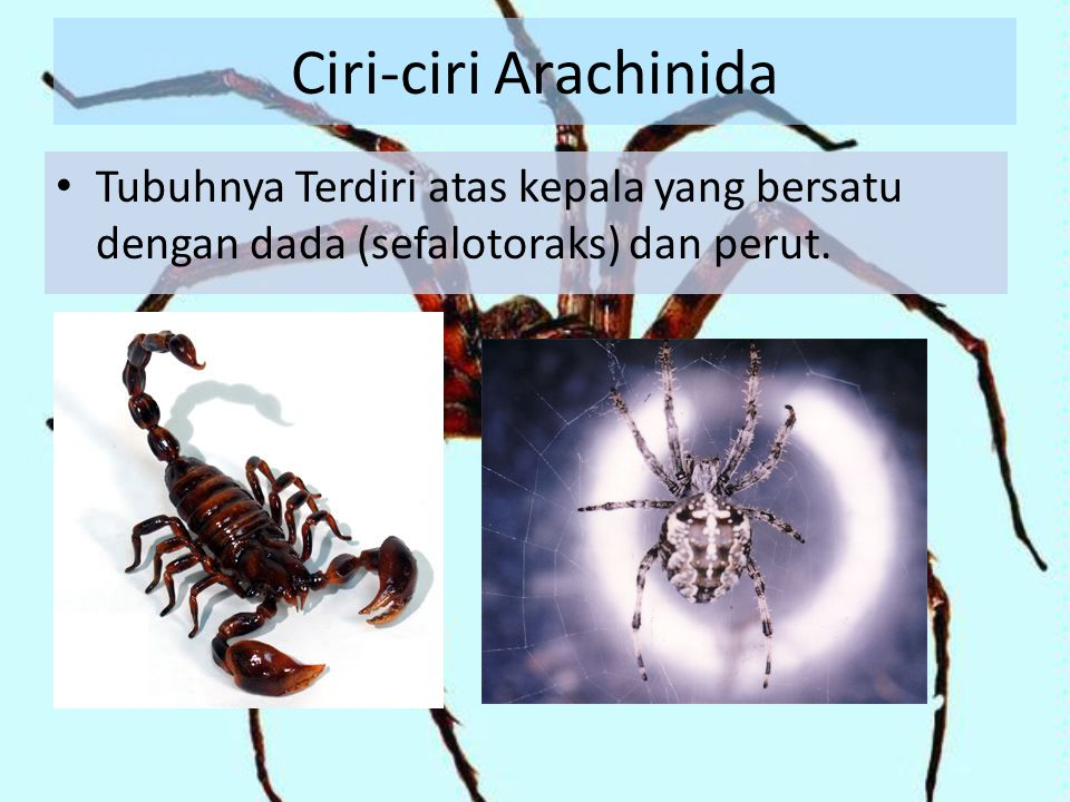 Ciri-ciri Arachinida Tubuhnya Terdiri atas kepala yang bersatu dengan dada (sefalotoraks) dan perut.