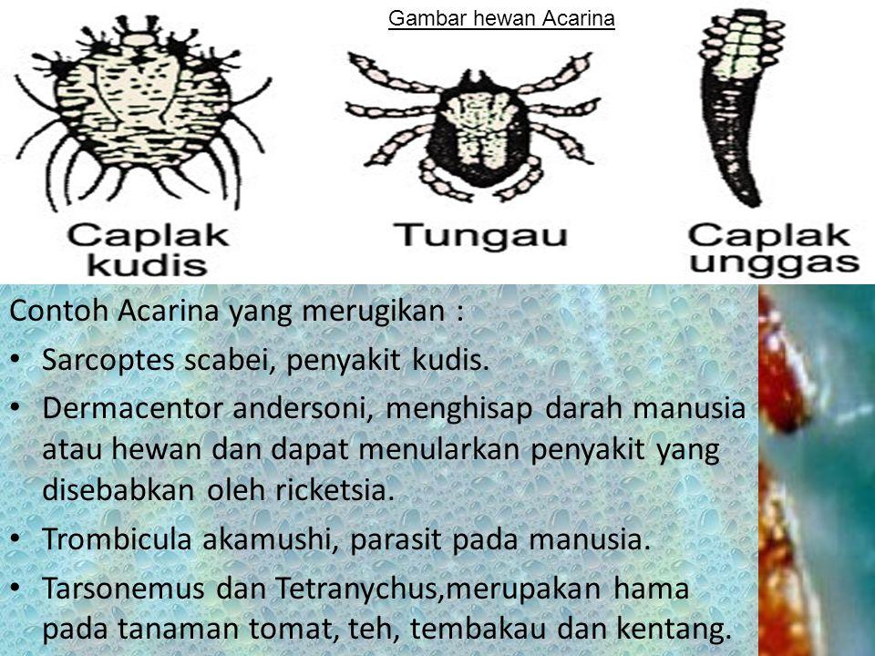 Tubuh hewan Acarina sangat kecil, abdomen bersatu dengan sefalotoraks, dan bersifat parasit, serta banyak menimbulkan kerugian walaupun ada yang hidup bebas.