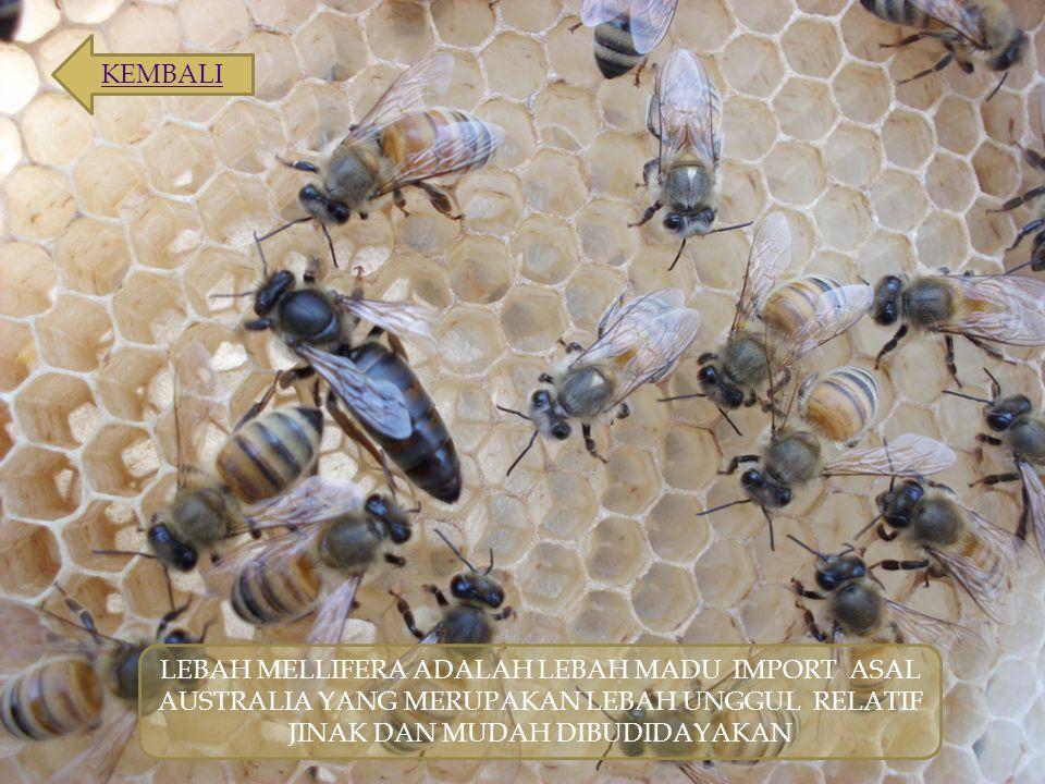 LEBAH MELLIFERA ADALAH LEBAH MADU IMPORT ASAL AUSTRALIA YANG MERUPAKAN LEBAH UNGGUL RELATIF JINAK DAN MUDAH DIBUDIDAYAKAN KEMBALI