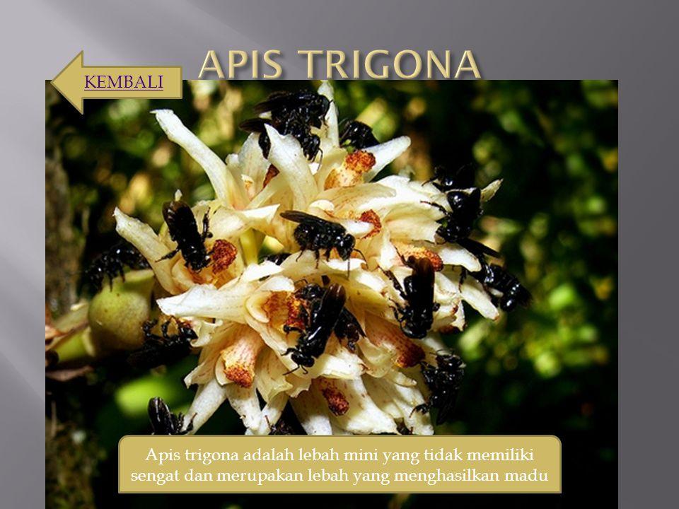 Apis trigona adalah lebah mini yang tidak memiliki sengat dan merupakan lebah yang menghasilkan madu KEMBALI