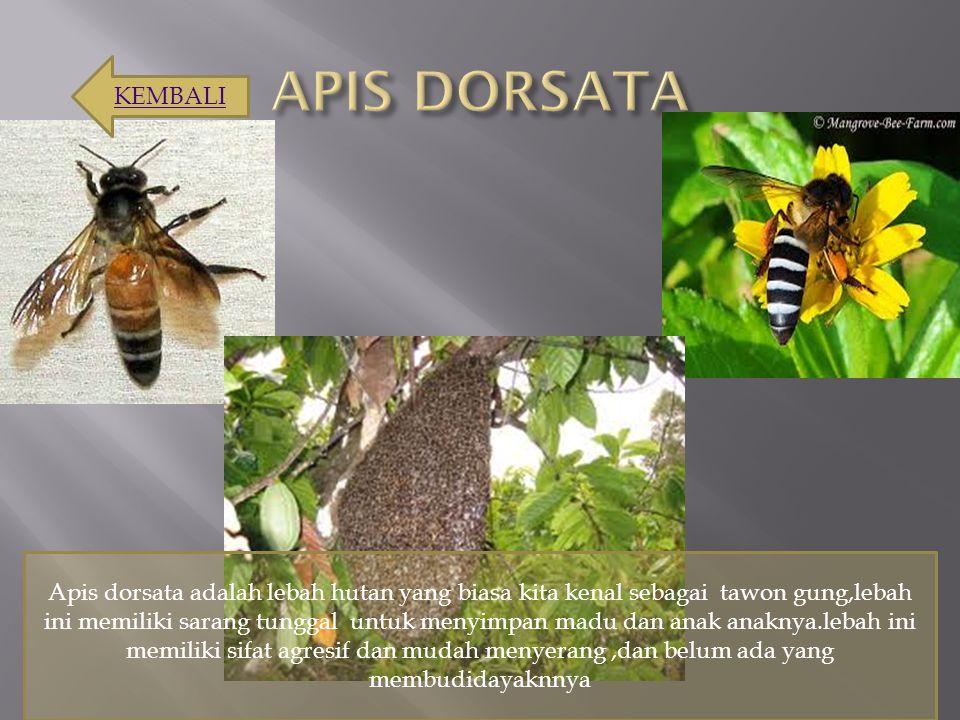 Apis dorsata adalah lebah hutan yang biasa kita kenal sebagai tawon gung,lebah ini memiliki sarang tunggal untuk menyimpan madu dan anak anaknya.lebah
