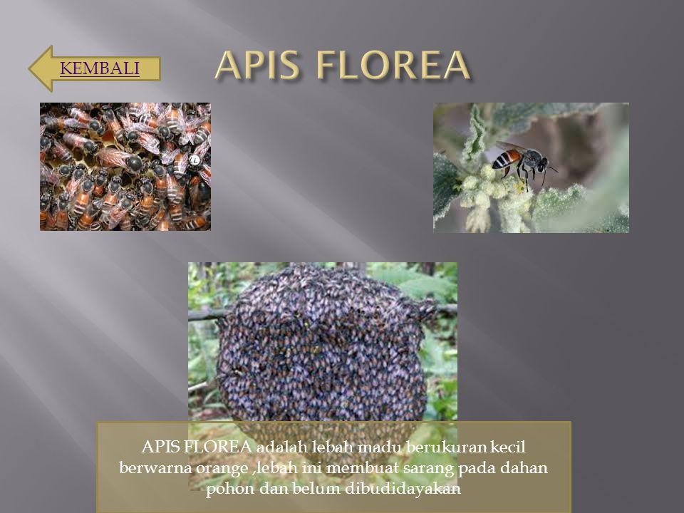 APIS FLOREA adalah lebah madu berukuran kecil berwarna orange,lebah ini membuat sarang pada dahan pohon dan belum dibudidayakan