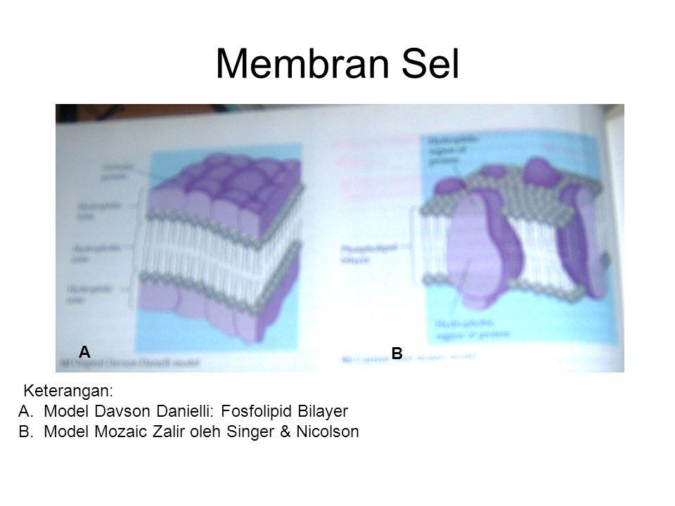 Membran Sel A B Keterangan: A.Model Davson Danielli: Fosfolipid Bilayer B.Model Mozaic Zalir oleh Singer & Nicolson