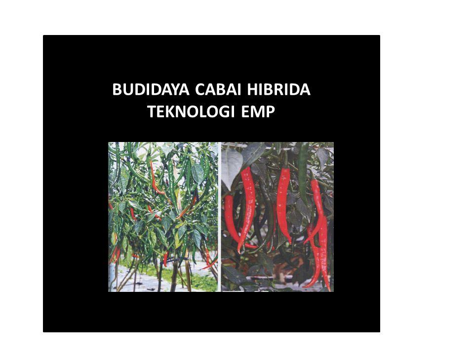 BUDIDAYA CABAI HIBRIDA TEKNOLOGI EMP