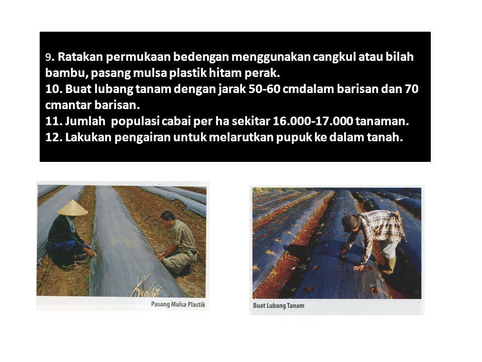 9. Ratakan permukaan bedengan menggunakan cangkul atau bilah bambu, pasang mulsa plastik hitam perak. 10. Buat lubang tanam dengan jarak 50-60 cmdalam