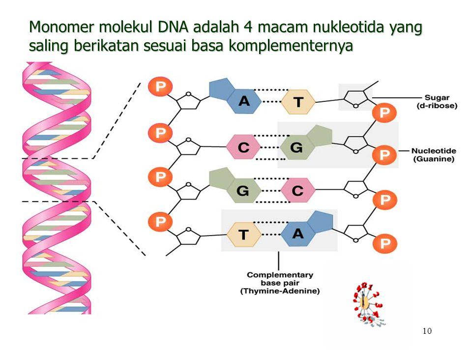 10 Monomer molekul DNA adalah 4 macam nukleotida yang saling berikatan sesuai basa komplementernya