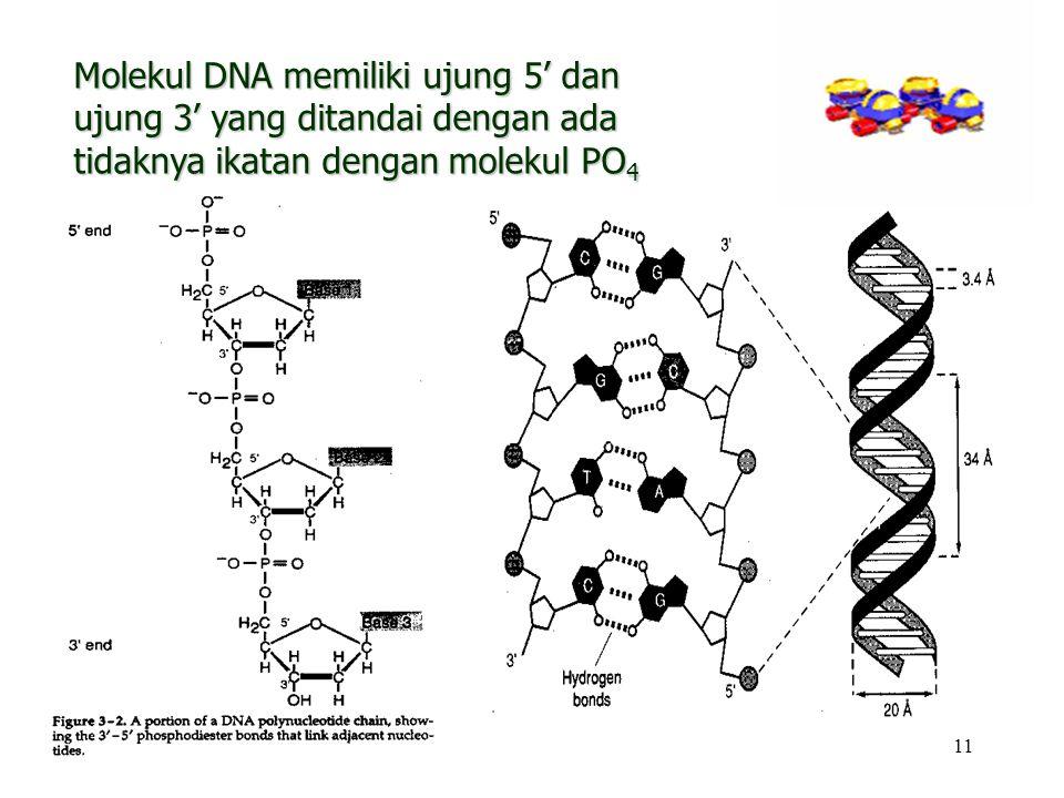 11 Molekul DNA memiliki ujung 5' dan ujung 3' yang ditandai dengan ada tidaknya ikatan dengan molekul PO 4