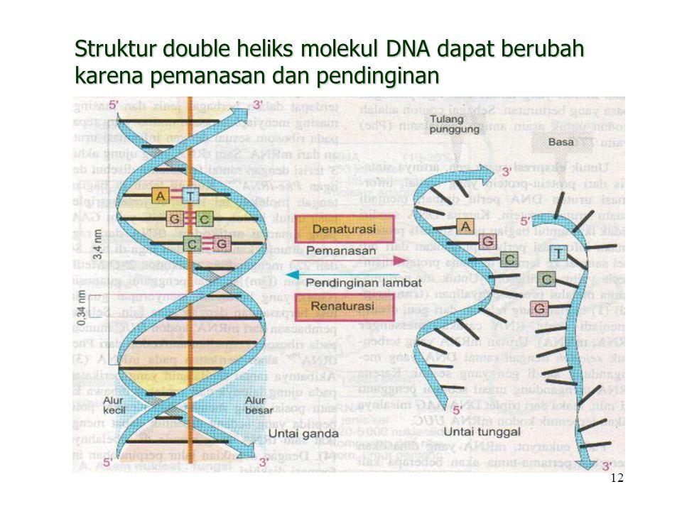 12 Struktur double heliks molekul DNA dapat berubah karena pemanasan dan pendinginan