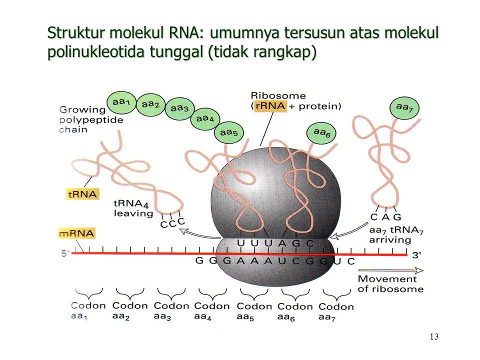 13 Struktur molekul RNA: umumnya tersusun atas molekul polinukleotida tunggal (tidak rangkap)