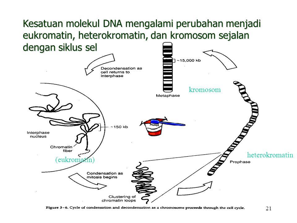 21 Kesatuan molekul DNA mengalami perubahan menjadi eukromatin, heterokromatin, dan kromosom sejalan dengan siklus sel kromosom heterokromatin (eukrom