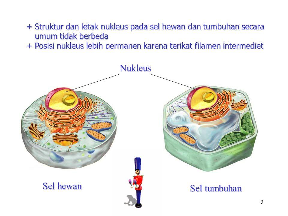 3 + Struktur dan letak nukleus pada sel hewan dan tumbuhan secara umum tidak berbeda + Posisi nukleus lebih permanen karena terikat filamen intermedie