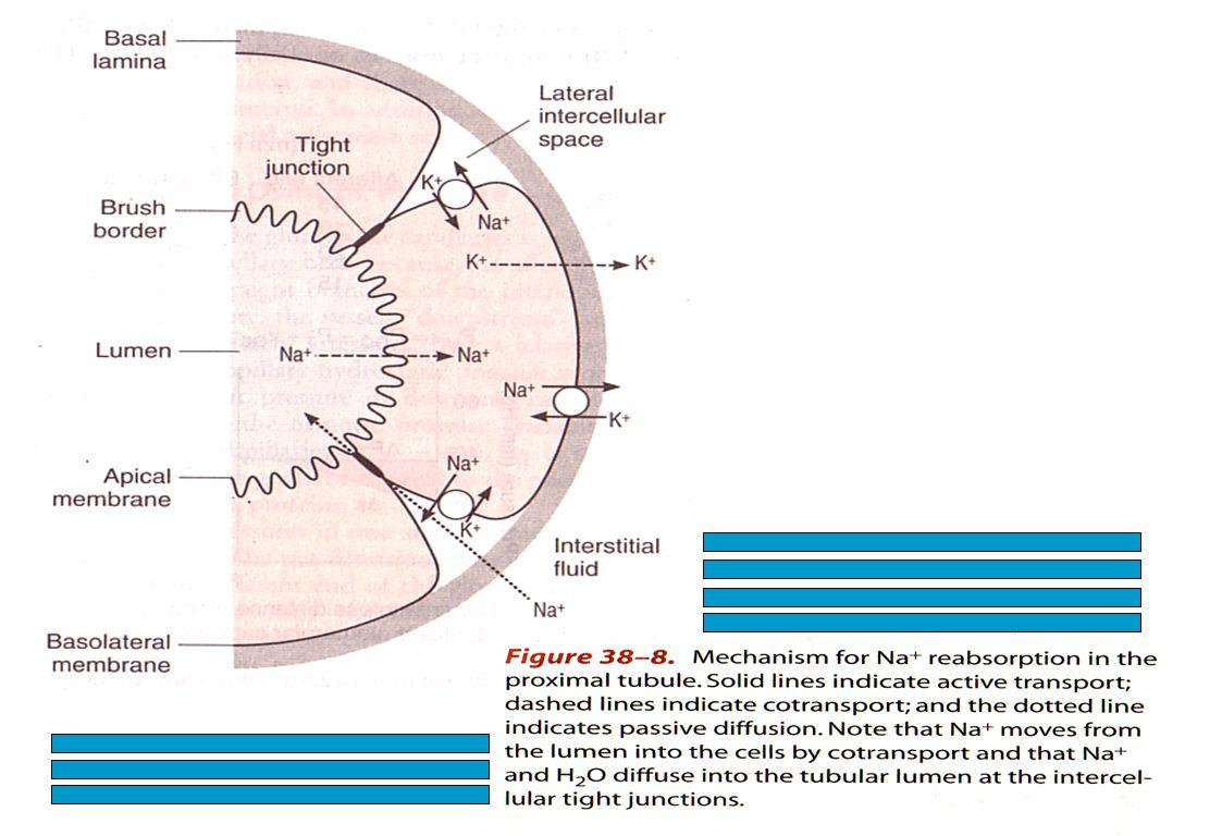 ekskresi-dwn27 Reabsorbsi bebera- pa jenis solut pada tubulus proksima-lis.