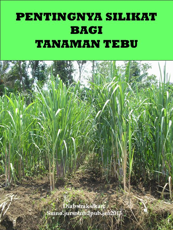 Si MEREDUKSI KEROBOHAN DAN MEMPERBAIKI KETEGAPAN TEBU One other effect of increased plant Si content, which has been reported in literature, is the increased mechanical strength of plant tissue, which results in reduced lodging.