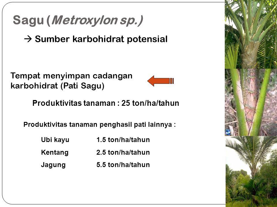 Sagu (Metroxylon sp.)  Sumber karbohidrat potensial Tempat menyimpan cadangan karbohidrat (Pati Sagu) Produktivitas tanaman : 25 ton/ha/tahun Produkt