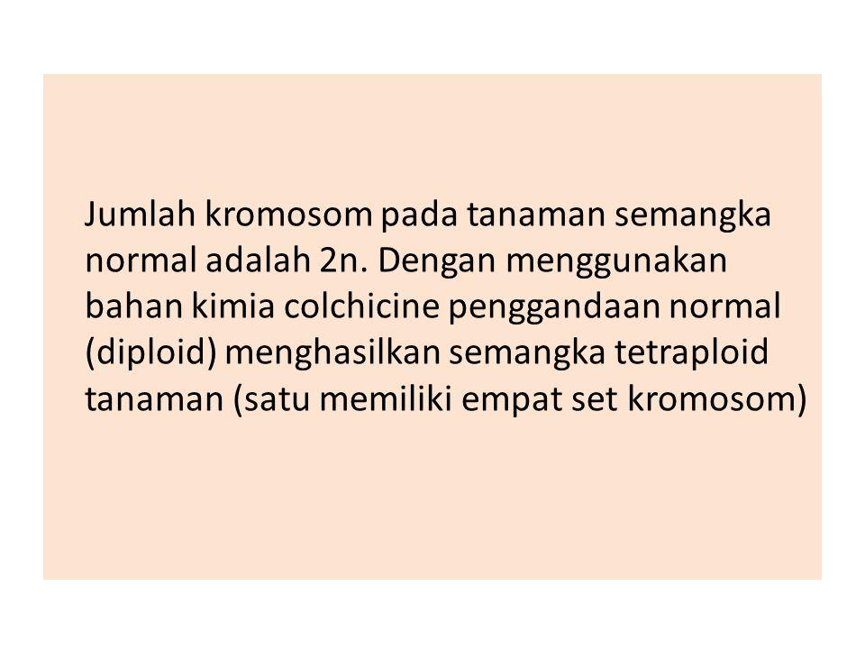 Jumlah kromosom pada tanaman semangka normal adalah 2n. Dengan menggunakan bahan kimia colchicine penggandaan normal (diploid) menghasilkan semangka t