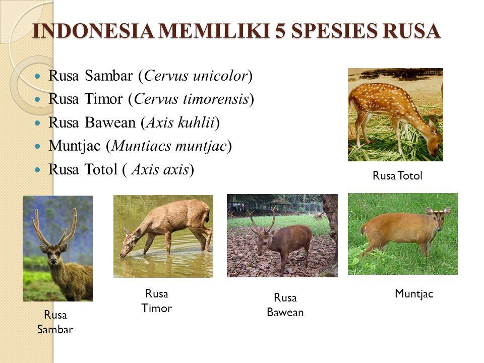 INDONESIA MEMILIKI 5 SPESIES RUSA Rusa Sambar (Cervus unicolor) Rusa Timor (Cervus timorensis) Rusa Bawean (Axis kuhlii) Muntjac (Muntiacs muntjac) Ru