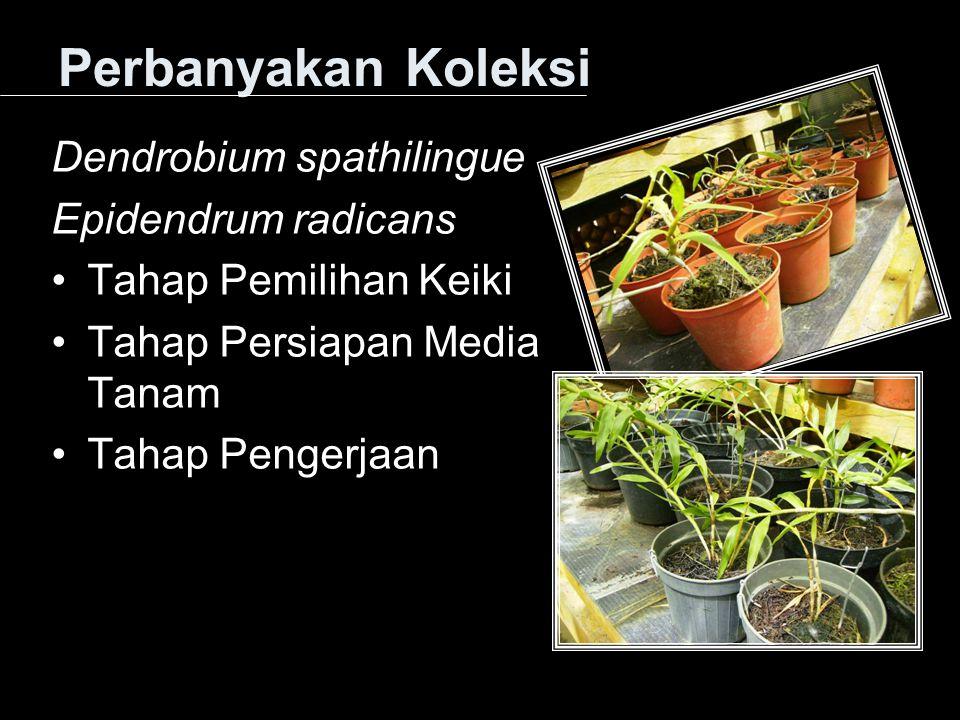 Perbanyakan Koleksi Dendrobium spathilingue Epidendrum radicans Tahap Pemilihan Keiki Tahap Persiapan Media Tanam Tahap Pengerjaan