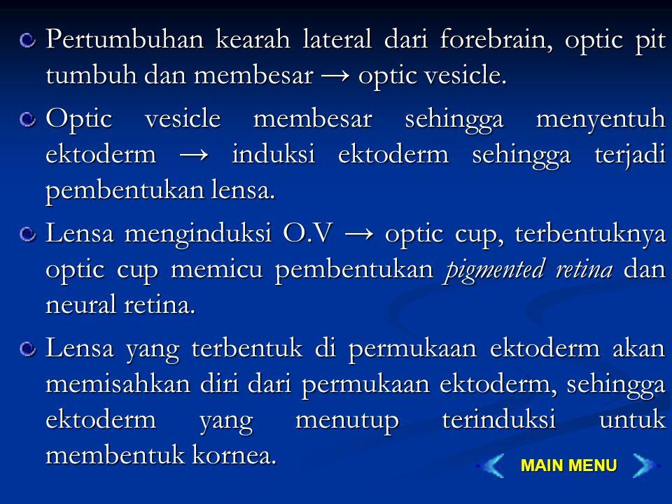 Pertumbuhan kearah lateral dari forebrain, optic pit tumbuh dan membesar → optic vesicle. Optic vesicle membesar sehingga menyentuh ektoderm → induksi
