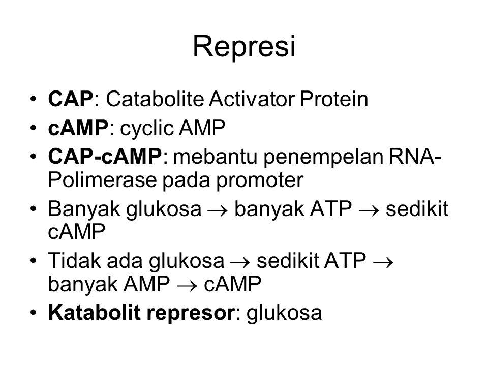 Represi CAP: Catabolite Activator Protein cAMP: cyclic AMP CAP-cAMP: mebantu penempelan RNA- Polimerase pada promoter Banyak glukosa  banyak ATP  sedikit cAMP Tidak ada glukosa  sedikit ATP  banyak AMP  cAMP Katabolit represor: glukosa