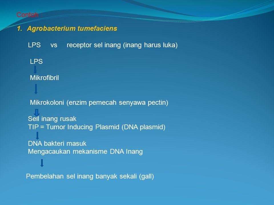 Contoh : 1.Agrobacterium tumefaciens LPS vs receptor sel inang (inang harus luka) LPS Mikrofibril Mikrokoloni (enzim pemecah senyawa pectin) Sell inan