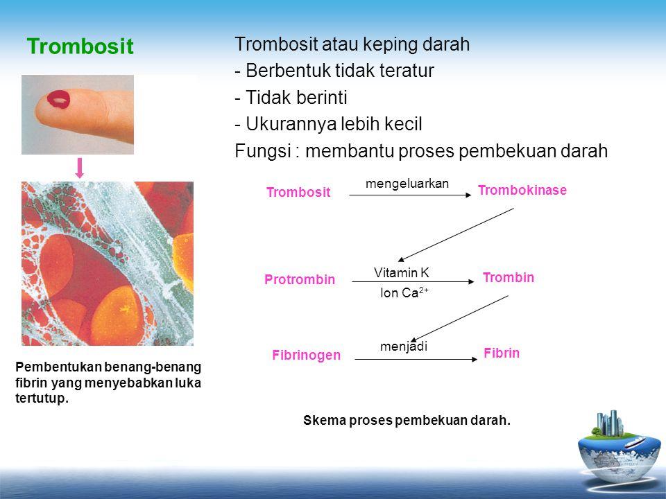 Trombosit atau keping darah - Berbentuk tidak teratur - Tidak berinti - Ukurannya lebih kecil Fungsi : membantu proses pembekuan darah Pembentukan ben