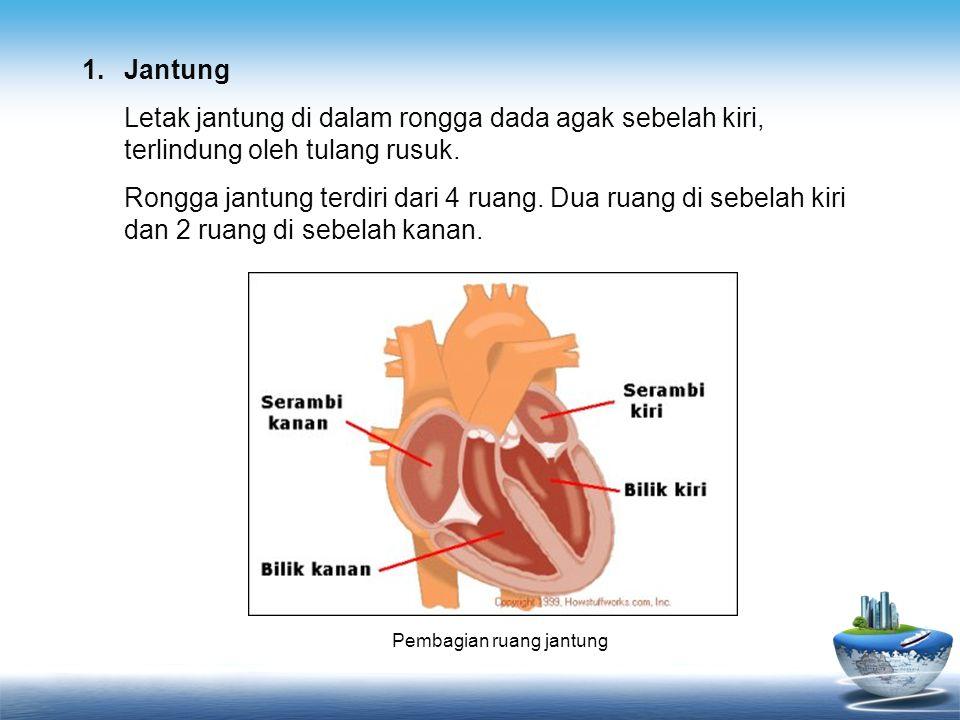 1.Jantung Letak jantung di dalam rongga dada agak sebelah kiri, terlindung oleh tulang rusuk. Rongga jantung terdiri dari 4 ruang. Dua ruang di sebela