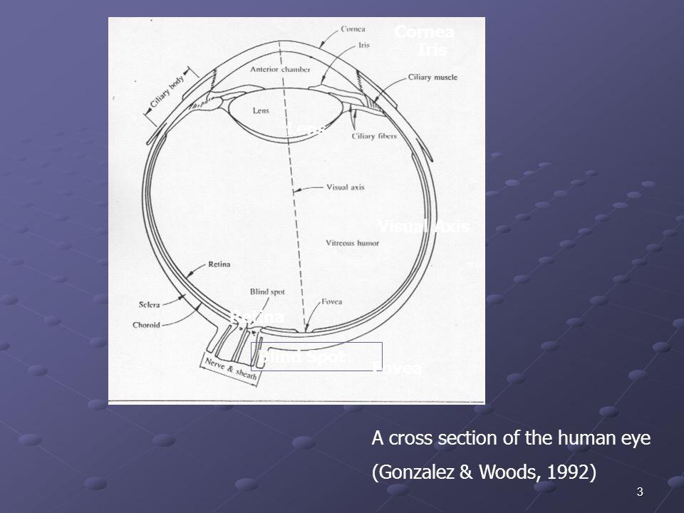 3 A cross section of the human eye (Gonzalez & Woods, 1992) Retina Blind Spot Fovea Iris Lens Visual Axis Cornea