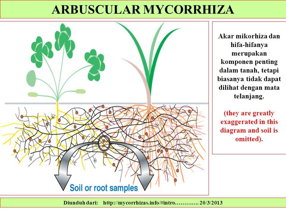 Diunduh dari: http://mycorrhizas.info/#intro…………. 20/3/2013 Akar mikorhiza dan hifa-hifanya merupakan komponen penting dalam tanah, tetapi biasanya ti